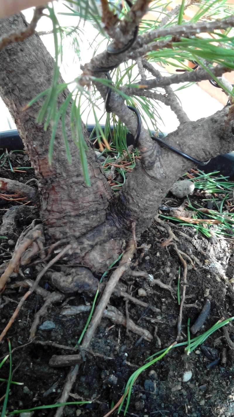 Consigli impostazione pre-bonsai Mugo Img_2018
