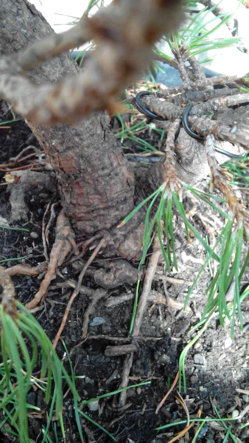 Consigli impostazione pre-bonsai Mugo Img_2019