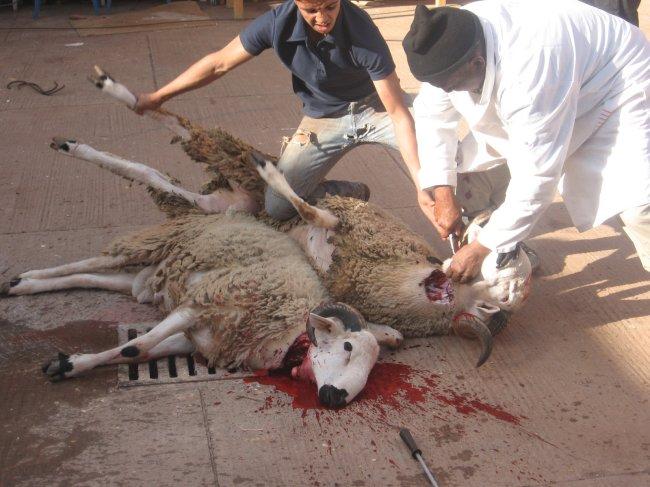 """Quand le Marocain s'investit en """"moutonnier"""" Mouton10"""