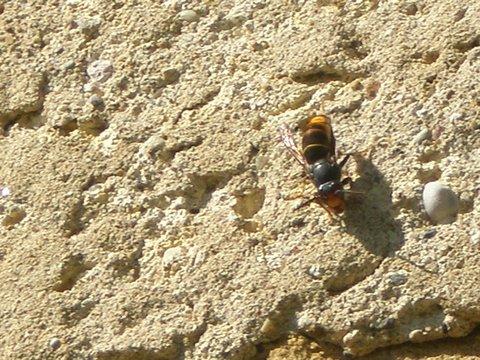 frelons asiatiques dans le mur P9260030