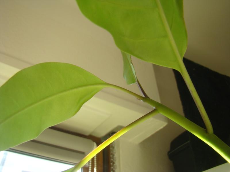 Jeune plumeria : pourquoi des feuilles recourbées ? Dsc00413