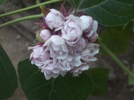 identification d'une plante Compr_11