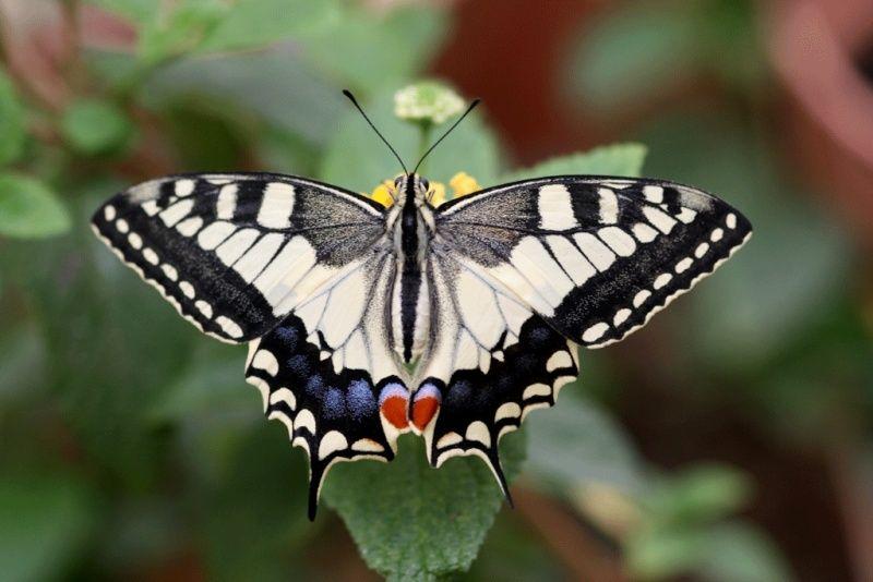 Machaon (Papilio machaon) Machao10