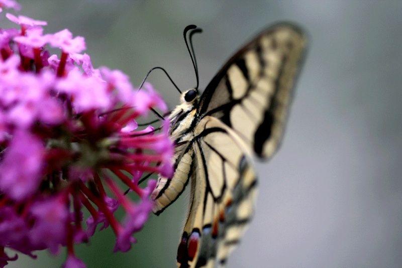 Machaon (Papilio machaon) Machao11
