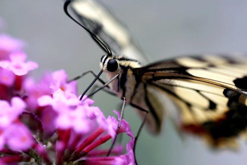 Machaon (Papilio machaon) Machao12