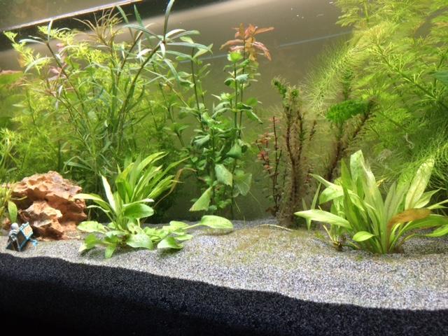 nouveau bac et algues après 11 jours Aquari11