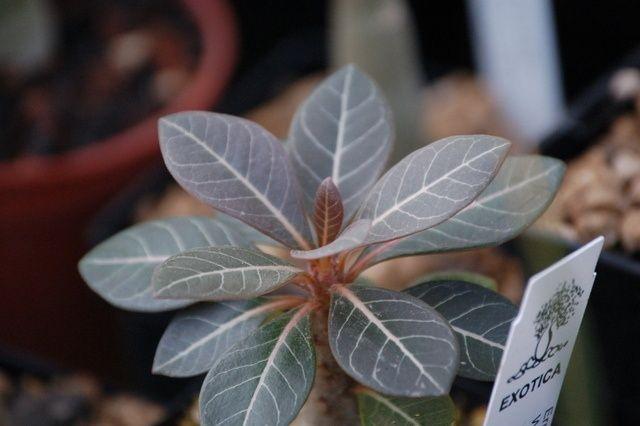 Adenium socotranum Adeniu11