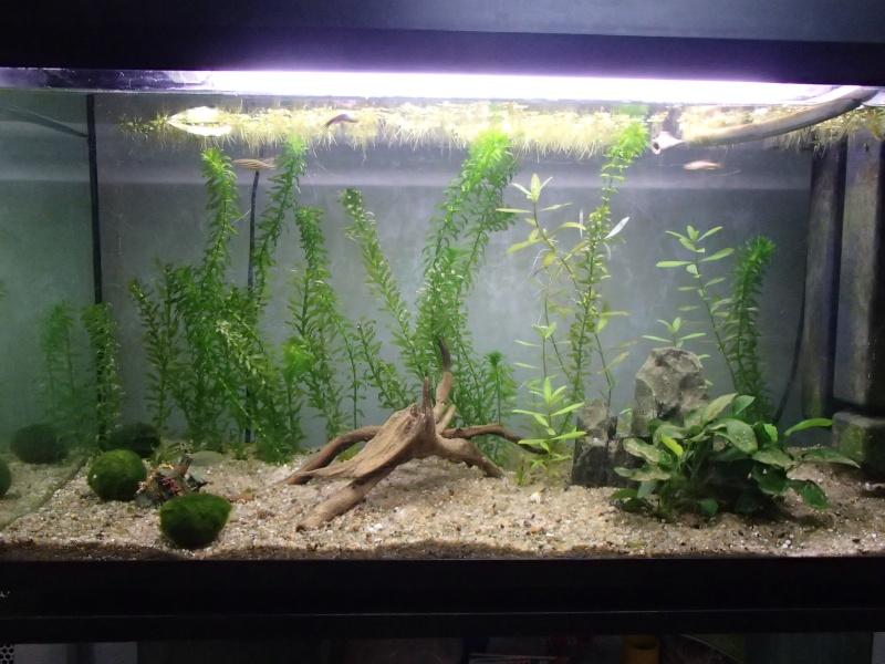 Démarrage aquarium 100L Pa200010