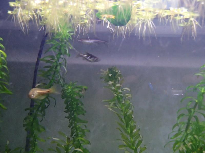 Démarrage aquarium 100L Pa200013