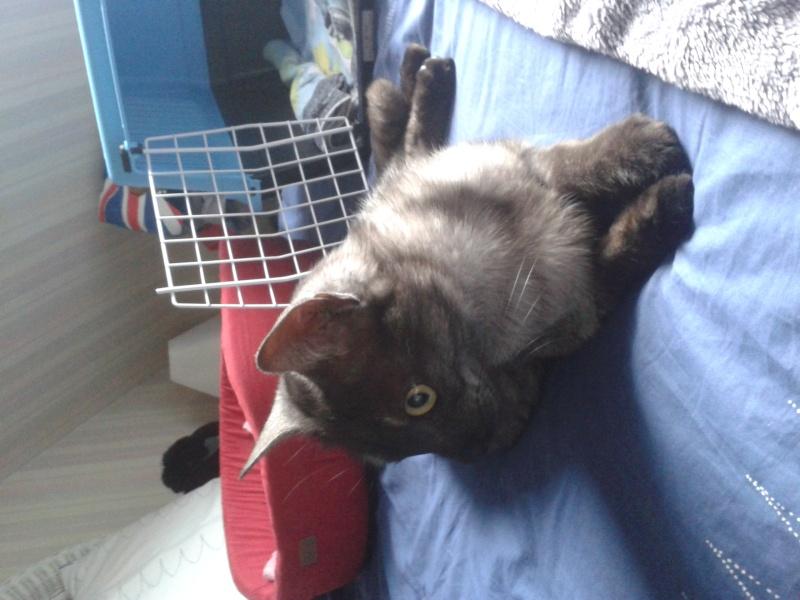 LIXOU, jeune chat européen, robe smoke, né en janvier 2015 20151015