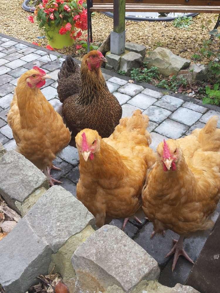 poule ou coq orpington  20151025