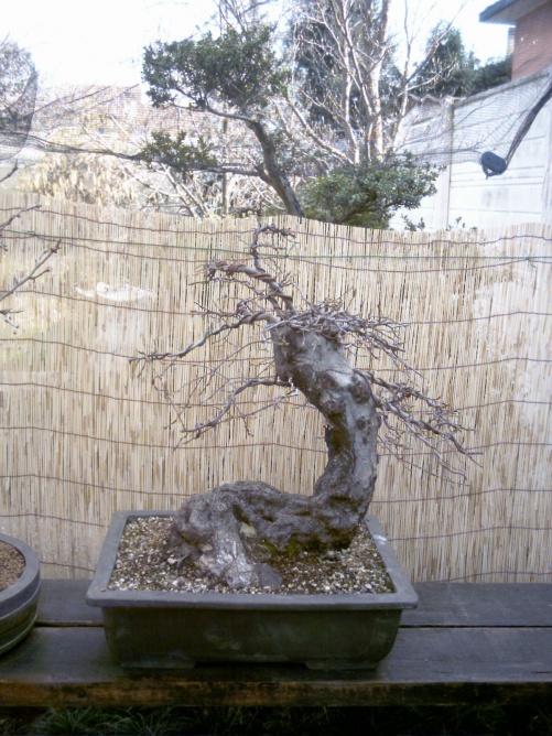 Rimodellatura di un vecchio carpino 200410