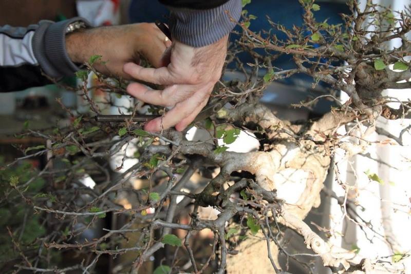 Rimodellatura di un vecchio carpino 415