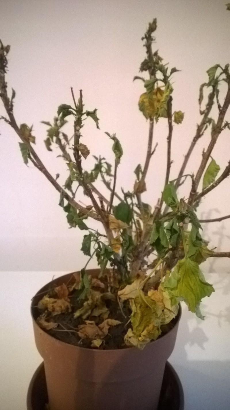 hibiscus malades... Wp_20111
