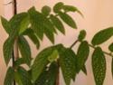 bégonia bambusiforme Bego410