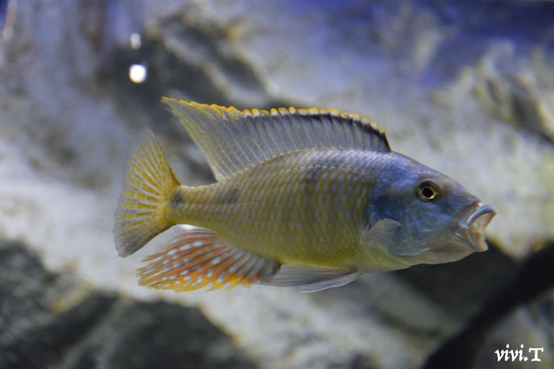 Hemitilapia oxyhynchus Dsc_0810