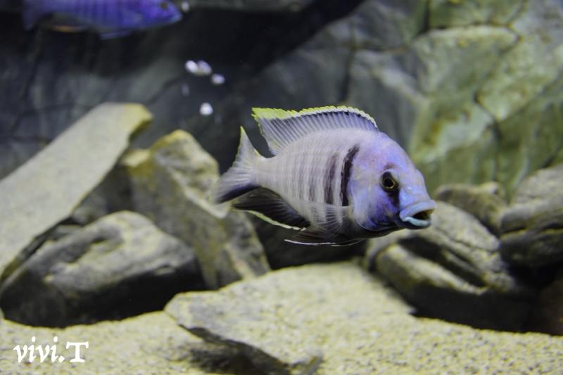 Placidochromis electra likoma F1 Dsc_1010