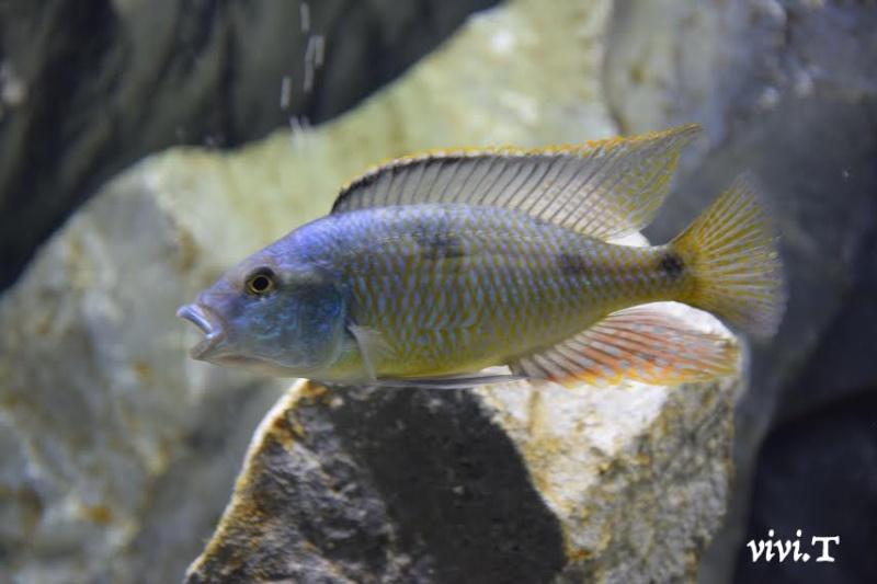 Hemitilapia oxyhynchus Kjgf10