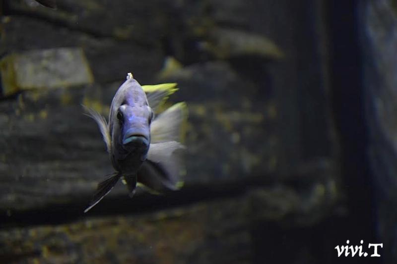 Placidochromis electra likoma F1 Klug10