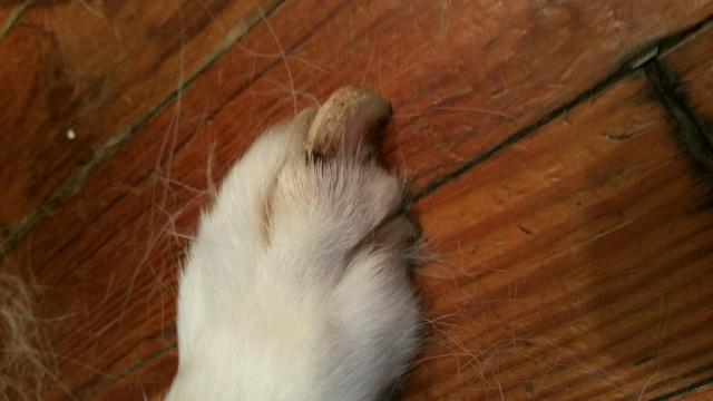 Nail and Paw Pad Issue Dakota12