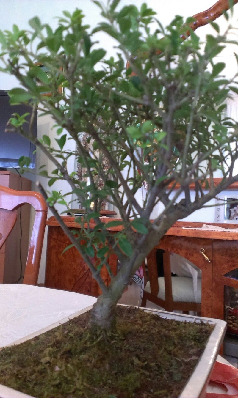che bonsai è?? Img-2012