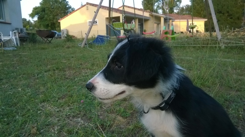 Loucha, border collie 6m10