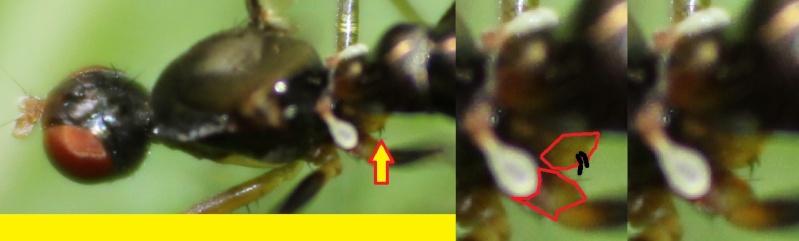 [Nemopoda nitidula] Une famille pas si difficile Nemopo10