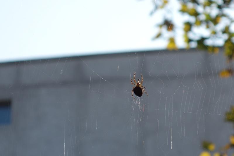 Araignée Dsc00110
