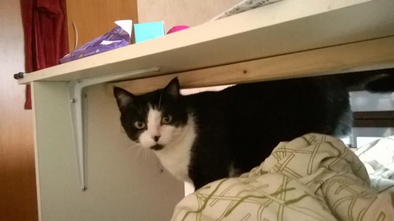 Noé chat noir et blanc mai 2012 FIV+ (ADPK35) Noe11