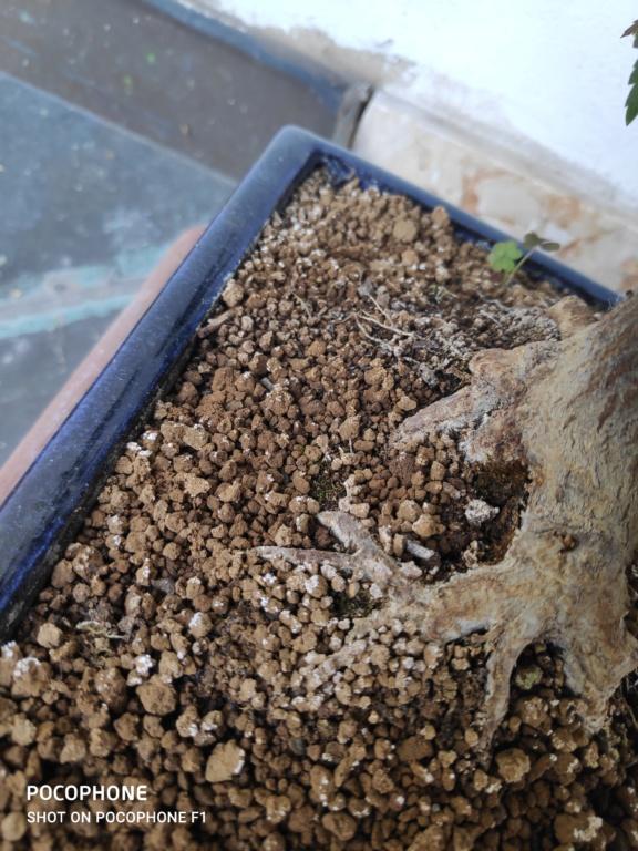 Problema foglie secche bonsai acero palmato 15950710