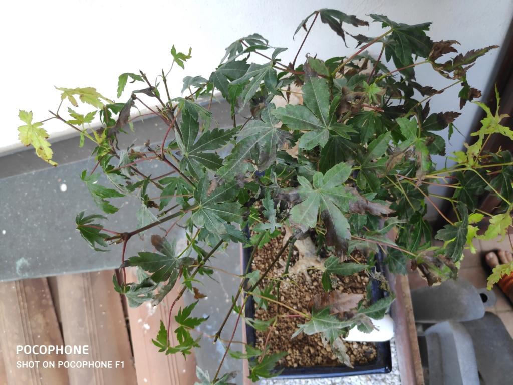 Problema foglie secche bonsai acero palmato 15950711