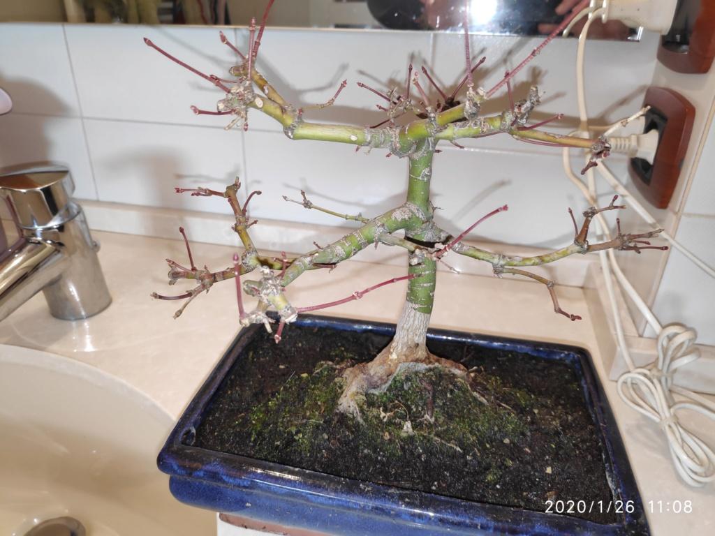 Consigli bonsai acero Img_2017