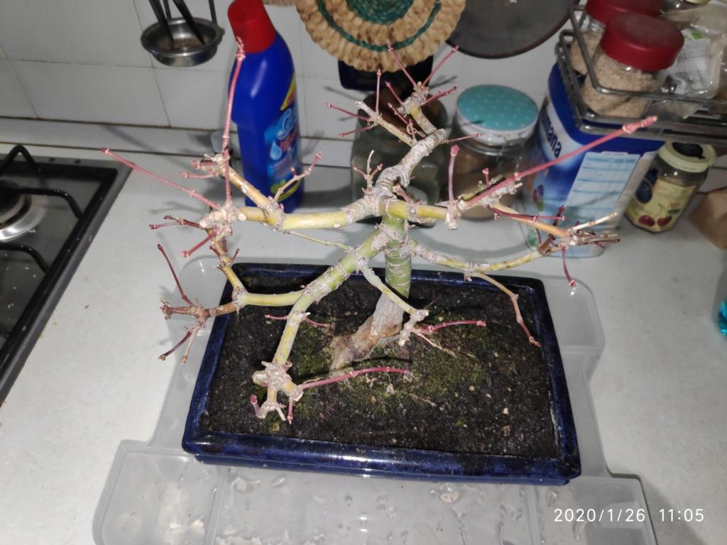 Consigli bonsai acero Img_2019