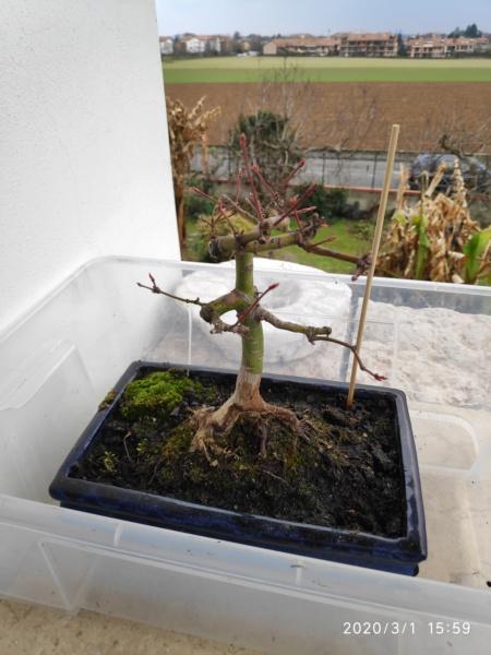 Consigli bonsai acero - Pagina 2 Img_2021