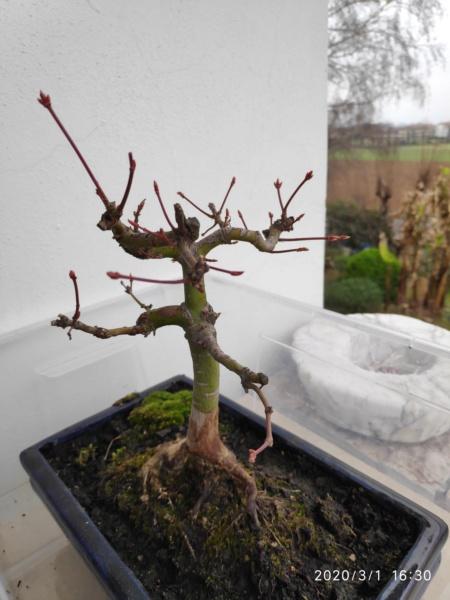 Consigli bonsai acero - Pagina 2 Img_2022