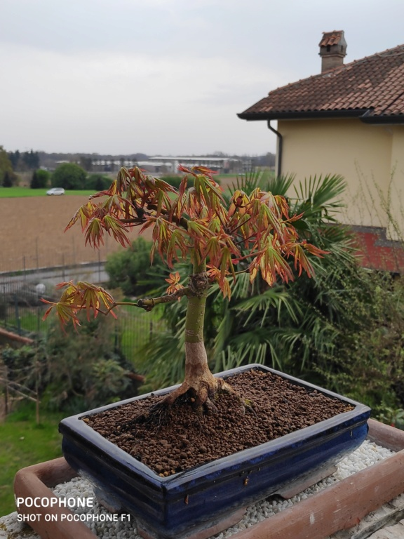 Consigli bonsai acero - Pagina 2 Img_2023