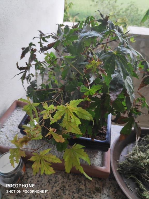 Problema foglie secche bonsai acero palmato Img_2026