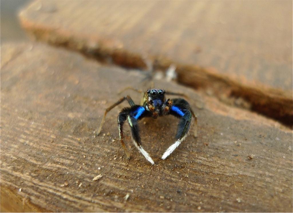 Araignée sauteuse... Marpissa muscosa L1020813