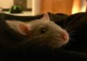 Rassurer un rat dans un nouvel environnement  15109010