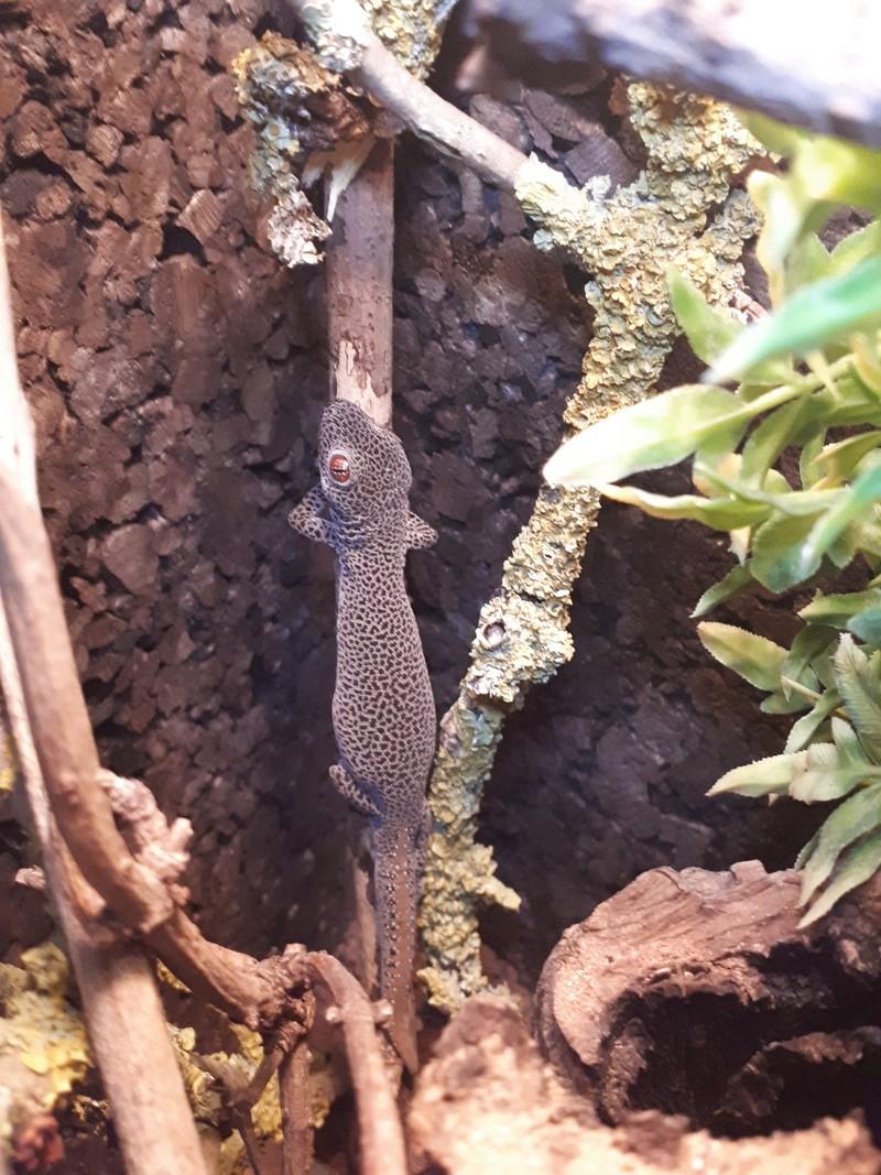 Reproduction Strophurus Taenicauda 20180419