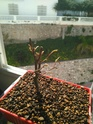 Acer palmatum yamamomiji. Evolución desde plantón 20180116