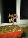 Acer palmatum yamamomiji. Evolución desde plantón 20180117