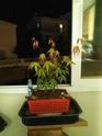 Acer palmatum yamamomiji. Evolución desde plantón 20180118