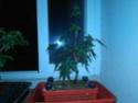 Acer palmatum yamamomiji. Evolución desde plantón 20180119