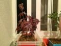 Acer palmatum yamamomiji. Evolución desde plantón 20180120