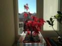 Acer palmatum yamamomiji. Evolución desde plantón 20180122