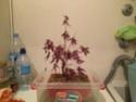 Acer palmatum yamamomiji. Evolución desde plantón 20180123