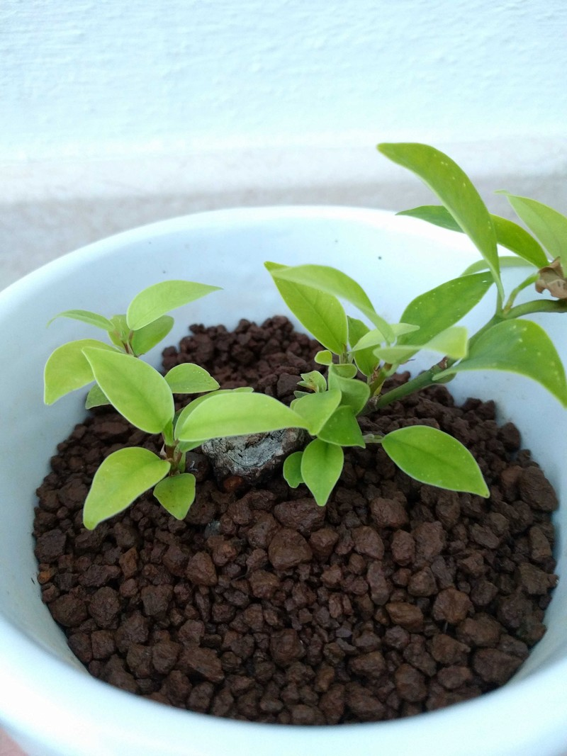 El ficus más feo de España que quería convertirse en bonsai 20180511