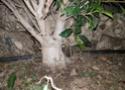 Posibles ficus banyan 20180222