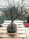 Bonsai Melo Selvatico 15176711